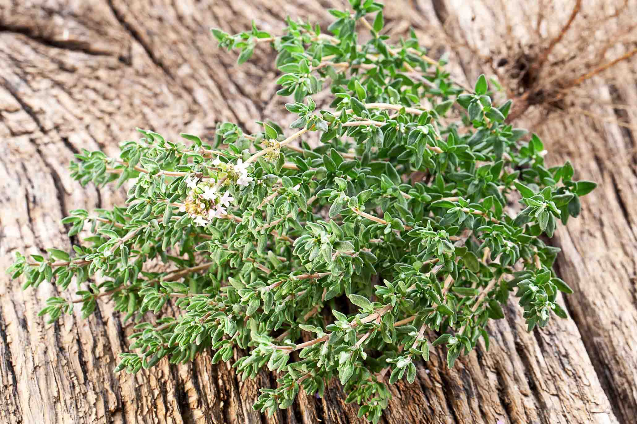 Thyme A Useful Culinary Herb