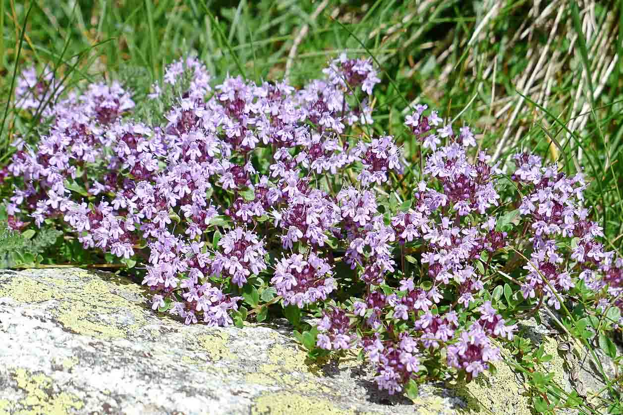 Caraway_Thyme